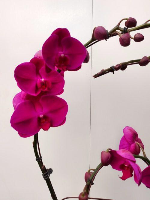 orchidée fushia photo proche