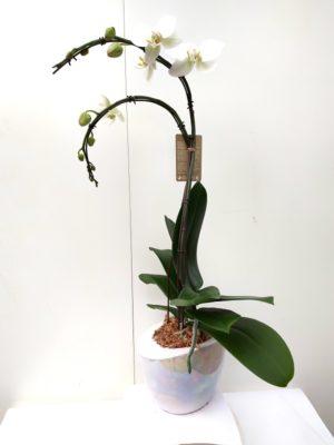 Orchidée blanche 2 branches fleurs XL dans un contenant blanc essence