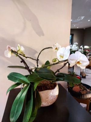 Orchidée couronne