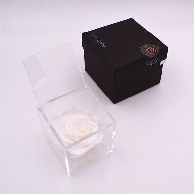 rose éternelle blanche 10x10